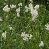 Luzula Nivea - The dark green leaves have an attractive hairy appearance and evergreen off-white fluffy flower spikes. Best Ground Cover Plants, Shade Tolerant Plants, Plants Online, Green Leaves, Evergreen, Garden Plants, Beautiful Flowers, Spikes, Stuff To Buy