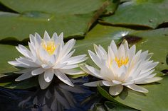 water lily | water lily | David Gunter | Flickr