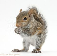 36042-Young-Grey-Squirrel-eating-a-hazelnut-white-background.jpg 1,123×1,104 pixels