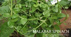 Malabar spinach medicinal uses