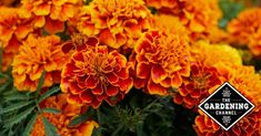 It's usually not a question of whether or not to have marigolds. It's more a question of what kind and how many to plant. Marigolds aren't only attractive, they're useful as well. Growing Marigolds, Planting Marigolds, Yellow Flowers, Outdoor Activities, Things To Come, This Or That Questions, Tips, Nature, Plants