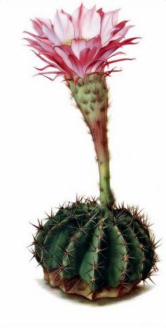 Echinopsis_oxygona01.png.jpg (697×1381)