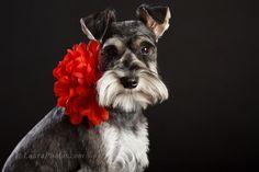 Mini Schnauzer, Dog Portrait, Puppy https://www.facebook.com/photo.php?fbid=594983853864959=pb.118110921552257.-2207520000.1364279738=3