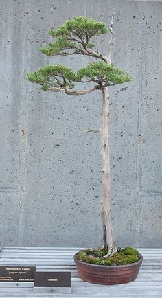 Incredible Specimen Bonsai True to natural tree with form.