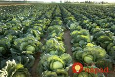 Cabbage grows well in New York State! Agriculture In India, Importance Of Agriculture, Modern Agriculture, Advantages Of Organic Farming, What Is A Blog, Sustainable Food, New Holland, Farm Gardens, Organic Recipes