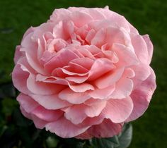 Floribunda Rose 'Tickled Pink' (Rosa micrantha)