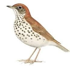 Wood Thrush: The wood thrush is a North American passerine bird. It is closely related to other thrushes such as the American robin and is widely distributed across North America, wintering in Central America and southern Mexico.