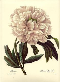 peony-Tattoo Inspiration...looks like the ones in my garden.
