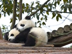 PANDA. So cute.