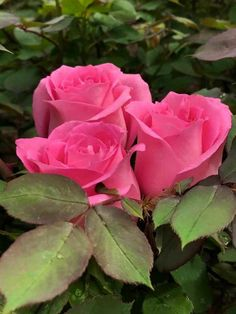 Pretty Roses, Beautiful Roses, All Flowers, Amazing Flowers, Roses Only, Types Of Roses, Growing Roses, Morning Flowers, Love Rose