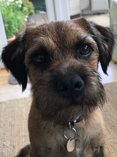 Border Terrier Puppy, Airedale Terrier, I Love Dogs, Puppy Love, Nice Dogs, Best Dog Breeds, Best Dogs, Chien Akita Inu, Brown Dog