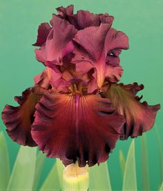 Red Hawk has sonorous red shades for a late blooming wonder. Its pleasantly ruffled flower form is especially surprising and represents a step forward in red Iris breeding.