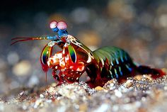 The Mantis Shrimp - amazing eyesight with color that can be read 3x the human eye. Uses a knock out punch to attack prey.