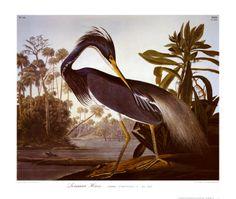 Louisiana Heron - John James Audobon