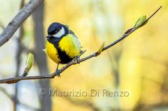 by Maurizio Di Renzo on Great Tit, Birds, Animals, Beauty, Collection, Animales, Animaux, Bird, Animal