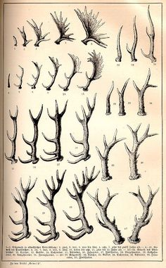 How to Determine the Age of Deer, Elk, and Moose by the Antlers ~ Pierers Universal-Lexikon, 1891