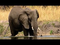 Pure Nature Specials - Africa's Rivers of Giants - http://notexactlythenews.com/2014/01/17/docudrama/pure-nature-specials-africas-rivers-of-giants/
