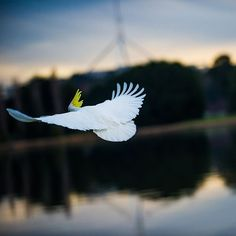 This remarkable photo of a cockatoo mid-flight in front of Parliament House was taken by Instagrammer damianbreach!