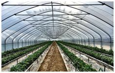 Cosy tunnels / Solo tunnels / Hoophouses www.pro-tech-marketing.co.uk Heavy duty solo tunnels with antistorm bars, ridge bar droppers and low level strawberries gutters tabletops. Strawberries, Farmer, Cosy, Tech, Bar, Marketing, Plants, Strawberry Fruit, Farmers