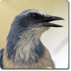 Florida #ScrubJay – Learn All About the Bird o' the Day – Backyard Wild #Bird Directory –