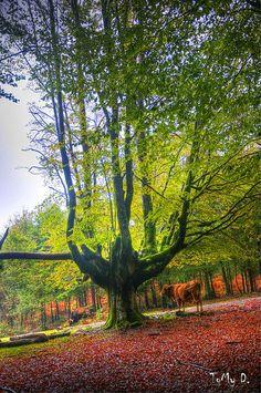Hayedo de Otzarreta  Forest, Bizkaia, Euskadi Basque Country