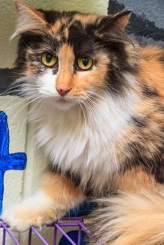 """Abbey Rose, 5 1/2 year old female Humane Society of Greater Dayton www.hsdayton.org  We are the area's largest """"no-kill"""" animal welfare agency!"""