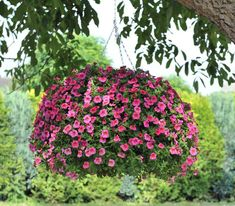 Yep, you really can have those lush, full, awe inspiring hanging baskets in your own garden with these tips and tricks!