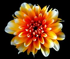 Bright Dahlia by Shannon Kunkle on 500px
