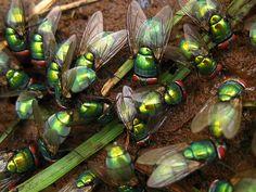 Caramosca moscas
