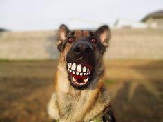 #German #Shepherd. Smile!