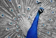 Peacock, Animal, Bird, Feather, Vanity, Iridescent