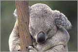 Adopt a Koala! Koalas are protected, but their habitats are not. Consider donating to protect this animal. Refrain from using eucalyptus products. http://gifts.worldwildlife.org/gift-center/gifts/Species-Adoptions/Koala.aspx?gclid=CNi5g7isn7wCFWxp7Aod4mwApw&gid=100&sc=AWY1200WCGBH&searchen=google
