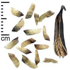 Katsura tree seeds