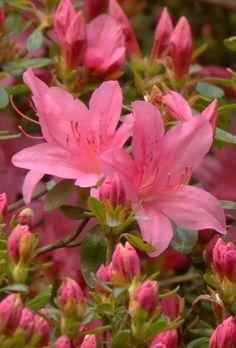 Azalea Asya Naz Kaptı Flowers Nature, Spring Flowers, Beautiful Flowers, Garden Trellis, Garden Plants, Planting Bulbs, Planting Flowers, Pink Garden, Plantation