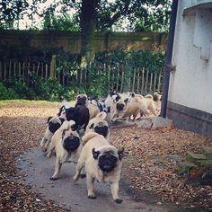 Pugs running!