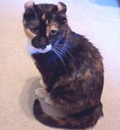 Calico American Curl   Available For Adoption | Purebred Cat Rescue