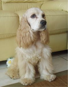 """Click visit site and Check out Cool """"English Cocker Spaniel"""" T-shirts. This website is superb. Tip: You can search """"your name"""" or """"your favorite shirts"""" at search bar on the top."""