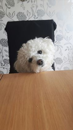 bichon frise puppy, bichon frise… The post Bichon Frise Gifts Dogs And Puppies appeared first on Gwen Howarth Dogs. Bichon Frise For Sale, Bichon Frise Rescue, Bichon Dog, Teacup Chihuahua, Havanese, Maltese Poodle, Maltipoo, Baby Puppies, Cute Puppies