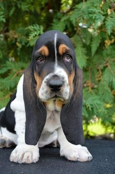 I so want a female Bassett Hound that looks like this one. I would name her either Charlie or Janis.