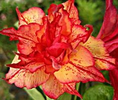 Desert Rose 'Golden Carrot' (Adenium obesum hybrid) has fully double flowers that are yellowish-orange with red highlights