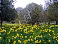 One day my backyard will look like this. I already have over 500 jonquil bulbs planted. :)