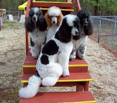How sweet are these babies?  Parti Standard Poodles