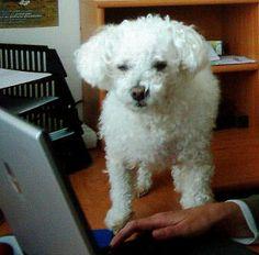 Muki 2007a - Bichon Bolognese / Boloňský psík Bichon Bolognese, Dogs, Animals, Animales, Animaux, Pet Dogs, Doggies, Animal, Animais