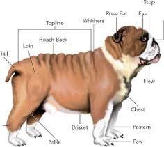 bulldog - Buscar con Google