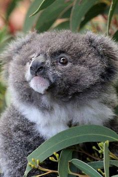 Archer the Koala Joey