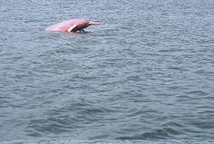 Boto cor de rosa#Brasil#Amazonia#Manaus#LulaSampaio#Peixe