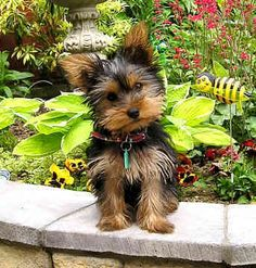 Picture of a Cairn terrier, scottie and a yorkie together   yorkie Image