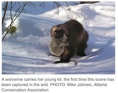Wolverine: Ghost of the Northern Forest - The Nature of Things: Science, Wildlife and Technology - Wolverines: Award-Winning Filmmaker Andrew Manske Captures A First-Time Glimpse Into Their Secret L - Wolverine Animal, Wolverine Art, Wolverine Images, Racing Extinction, Animal Experiences, Canadian Wildlife, Honey Badger, Rare Animals, Wild Animals