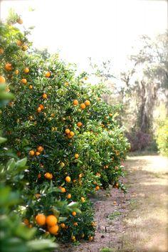 Oranges! I love Navel Oranges. This photo looks like it was taken in Arcadia. :)