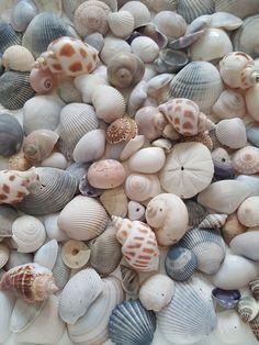 Belle Image Nature, Image Nature Fleurs, Seashell Art, Seashell Crafts, Starfish, Shells And Sand, Sea Shells, Driftwood Projects, Driftwood Art